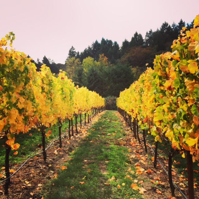 Vines at Bjornson Vineyard on a Fall afternoon